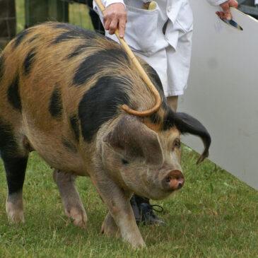 The Heritage Hog